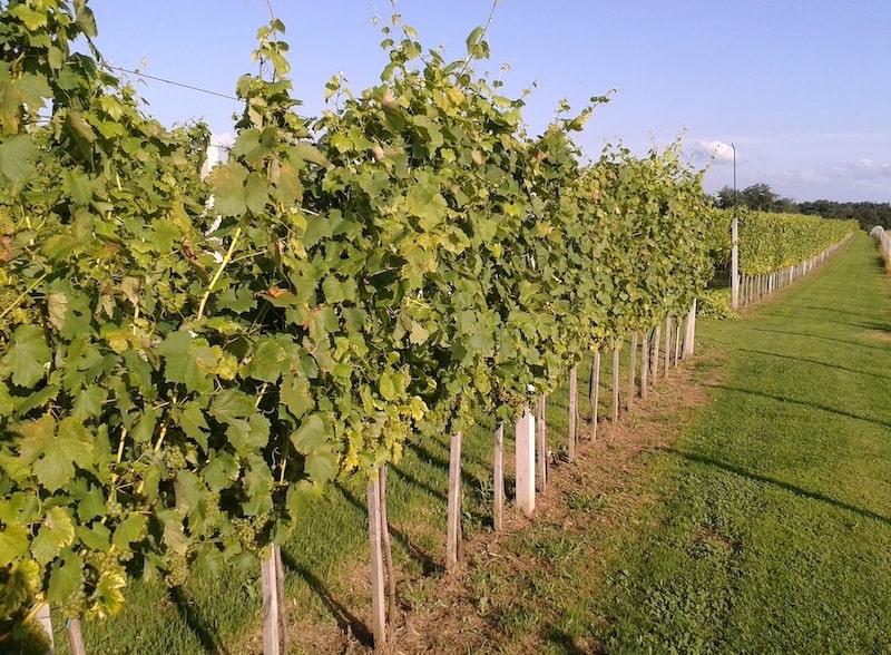 Vina Žabić